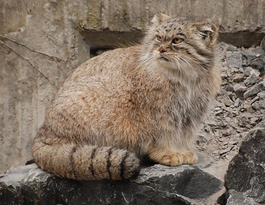 Picture of a pallas' cat (Felis manul)
