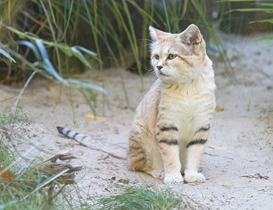 Picture of a sand cat (Felis margarita)