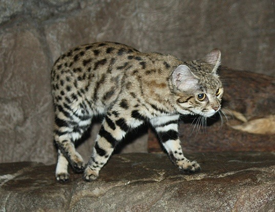 Picture of a black-footed cat (Felis nigripes)