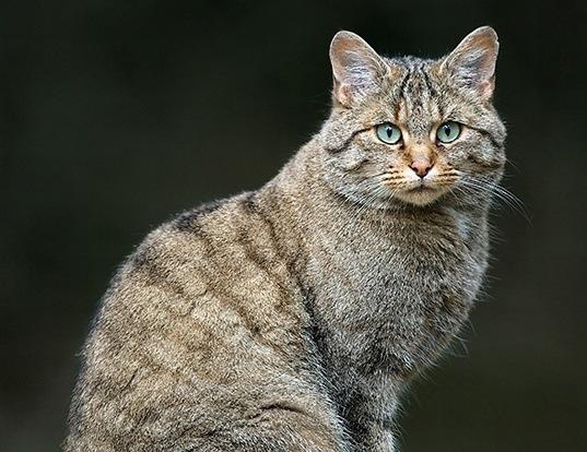 Picture of a wild cat (Felis silvestris)
