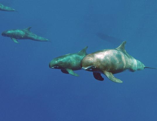 Picture of a pygmy killer whale (Feresa attenuata)