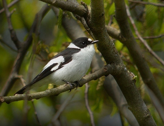 Picture of a collared flycatcher (Ficedula albicollis)