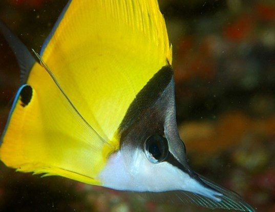 Picture of a big long-nosed butterflyfish (Forcipiger flavissimus)