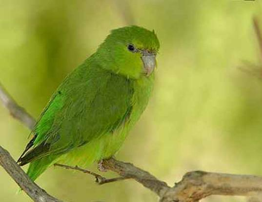 Picture of a mexican parrotlet (Forpus cyanopygius)