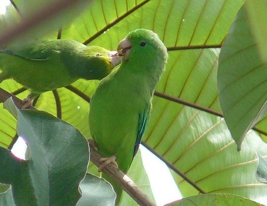 Picture of a green-rumped parrotlet (Forpus passerinus)