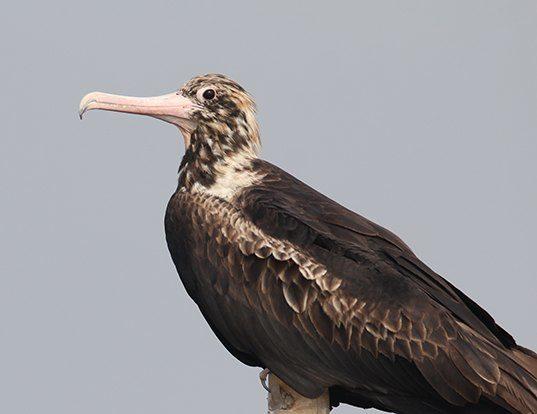 Picture of a christmas island frigatebird (Fregata andrewsi)