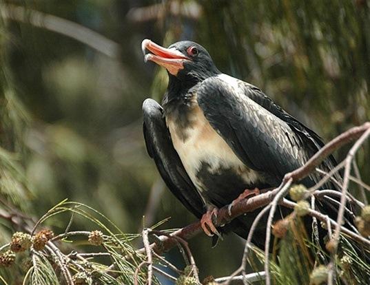 Picture of a lesser frigatebird (Fregata ariel)