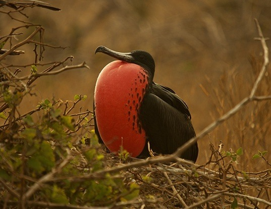 Picture of a magnificent frigatebird (Fregata magnificens)