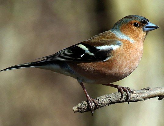 Picture of a eurasian chaffinch (Fringilla coelebs)