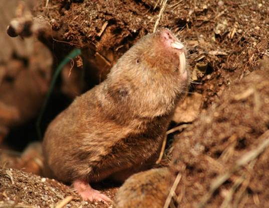 Picture of a zambian mole rat (Fukomys anselli)