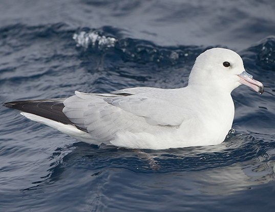 Picture of a southern fulmar (Fulmarus glacialoides)