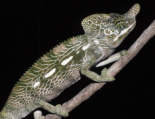 Picture of a labord's chameleon (Furcifer labordi)