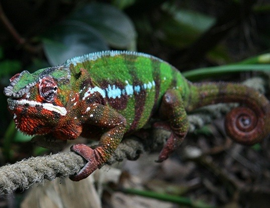 Picture of a panther chameleon (Furcifer pardalis)