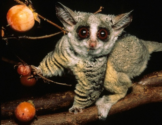 SOUTHERN LESSER GALAGO LIFE EXPECTANCY