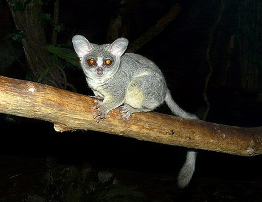 Picture of a northern lesser galago (Galago senegalensis)
