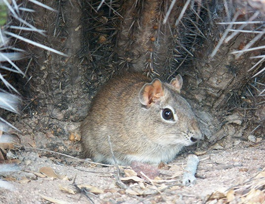 Picture of a spix's yellow-toothed cavy (Galea spixii)