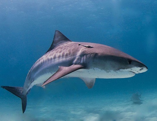 Picture of a tiger shark (Galeocerdo cuvier)