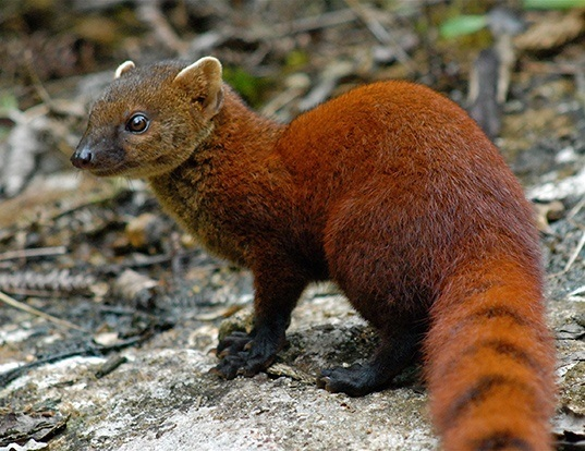 Picture of a malagasy ring-tailed mongoose (Galidia elegans)