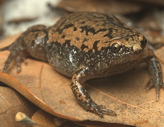 Picture of a eastern narrow-mouthed toad (Gastrophryne carolinensis)