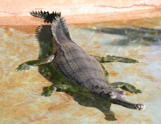 Picture of a indian gavial (Gavialis gangeticus)