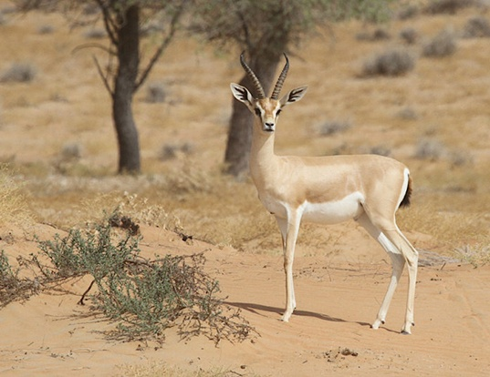 Picture of a arabian gazelle (Gazella arabica)