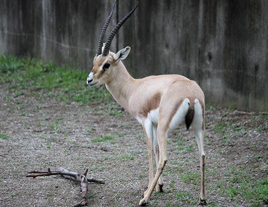 Picture of a slender-horned gazelle (Gazella leptoceros)