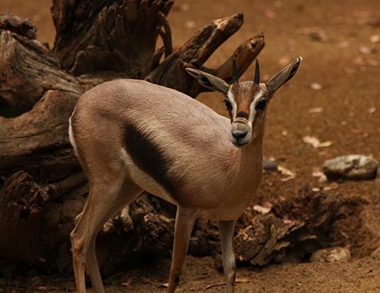 Picture of a speke's gazelle (Gazella spekei)