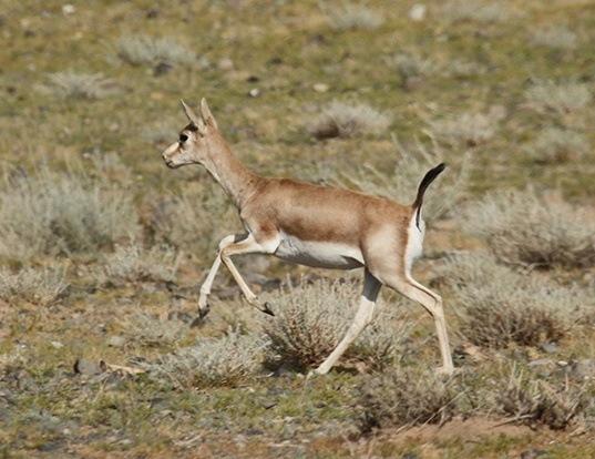 Picture of a goitered gazelle (Gazella subgutturosa)
