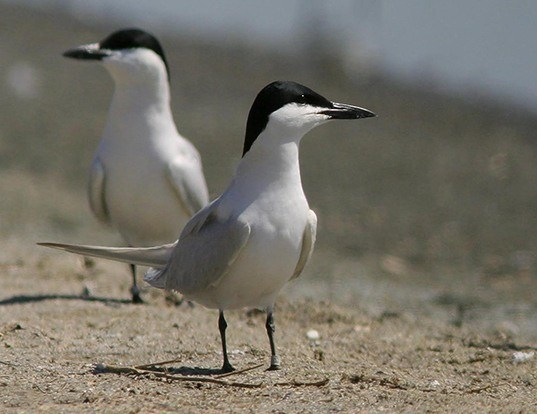 Picture of a common gull-billed tern (Gelochelidon nilotica)