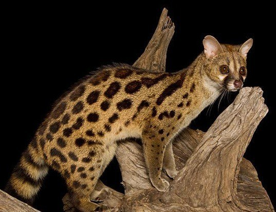 Picture of a panther genet (Genetta maculata)