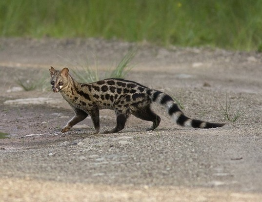Picture of a south african large-spotted genet (Genetta tigrina)