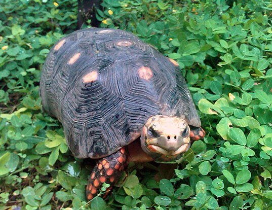 Picture of a redfoot tortoise (Geochelone carbonaria)