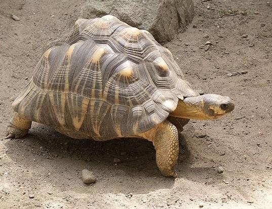 Picture of a radiated tortoise (Geochelone radiata)
