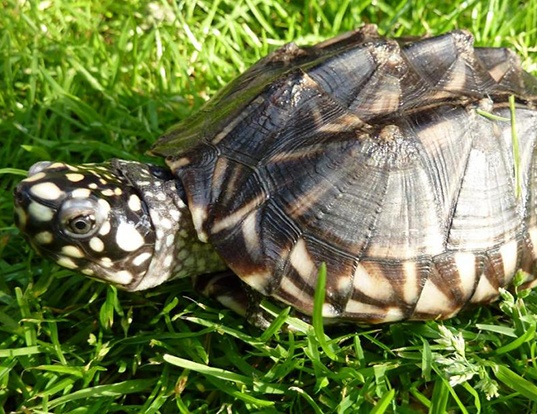 Picture of a black pond turtle (Geoclemys hamiltonii)