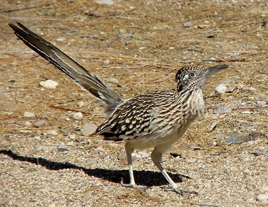 Picture of a greater roadrunner (Geococcyx californianus)