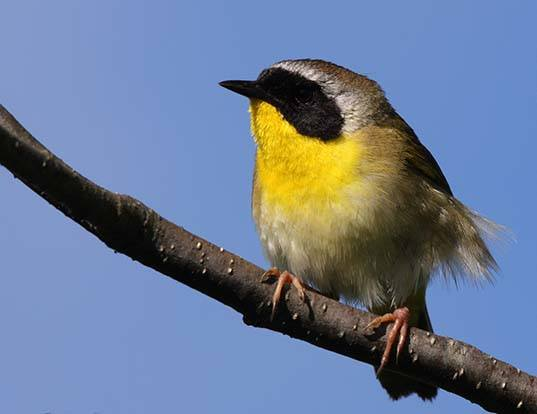 Picture of a yellowthroat (Geothlypis trichas)