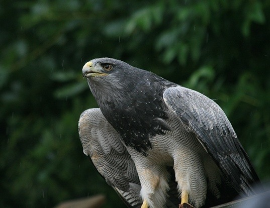 Picture of a chilean eagle (Geranoaetus melanoleucus)