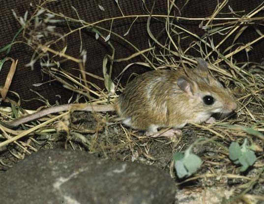 Picture of a north african gerbil (Gerbillus campestris)