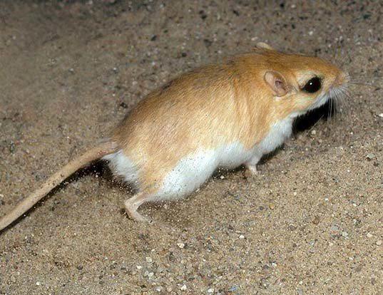 Picture of a lesser egyptian gerbil (Gerbillus gerbillus)