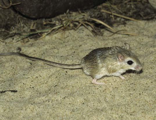 Picture of a dwarf gerbil (Gerbillus nanus)