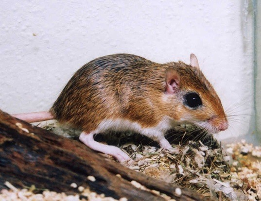 Picture of a greater egyptian gerbil (Gerbillus pyramidum)