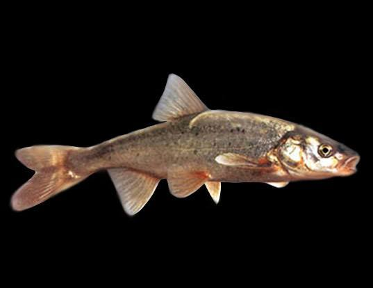Picture of a roundtail chub (Gila robusta)