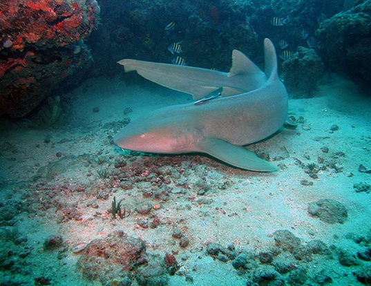 Picture of a nurse shark (Ginglymostoma cirratum)