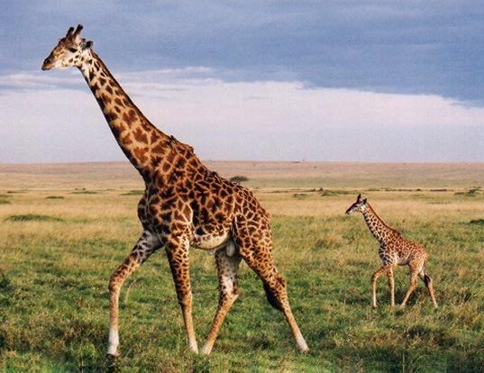 Picture of a giraffe (Giraffa camelopardalis)