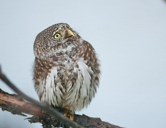 Picture of a eurasian pygmy-owl (Glaucidium passerinum)