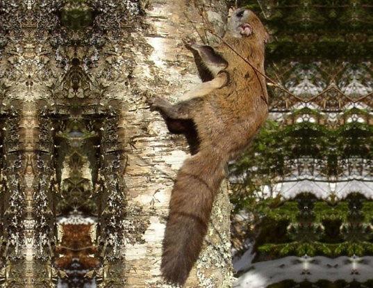 Picture of a carolina flying squirrel (Glaucomys sabrinus)