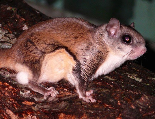 Picture of a southern flying squirrel (Glaucomys volans)