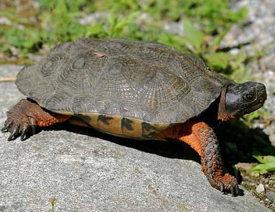 Picture of a wood turtle (Glyptemys insculpta)
