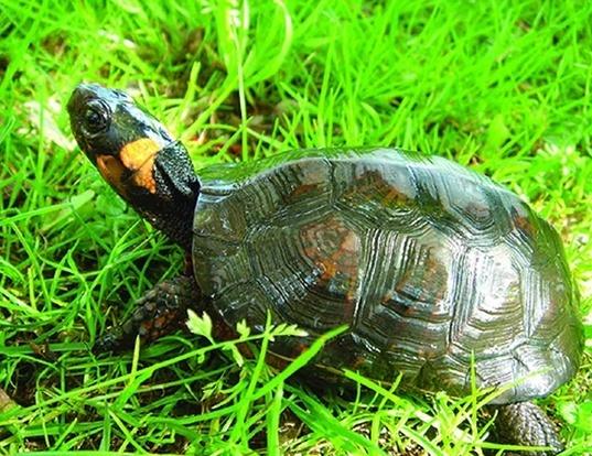 Picture of a bog turtle (Glyptemys muhlenbergii)