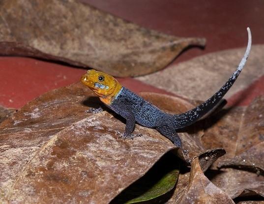 Picture of a yellowhead gecko (Gonatodes albogularis)